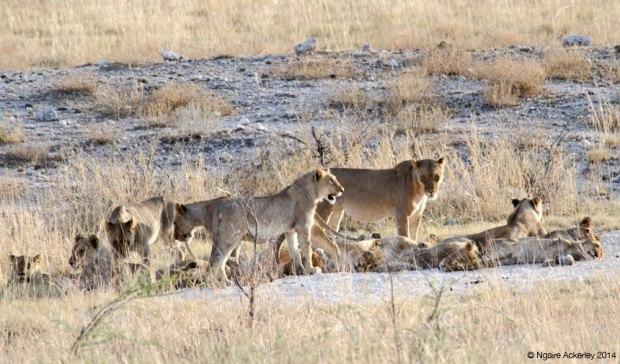 Lion pack, Etosha National Park, Namibia
