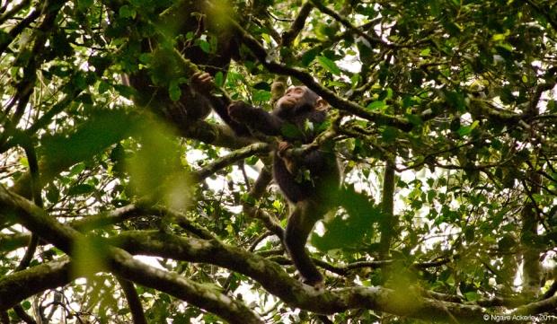 Baby Chimp climbing trees - Kibale, Uganda