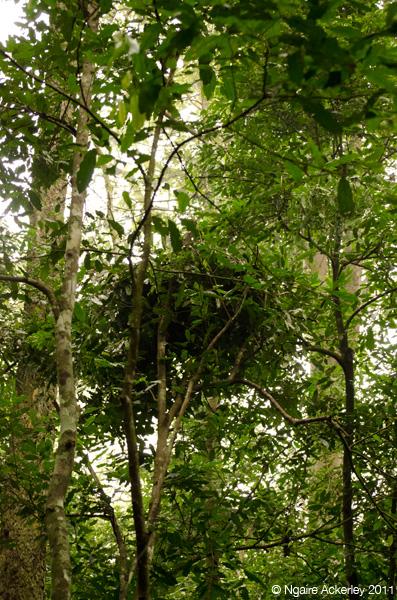 Chimpanzee nest, Kibale Uganda