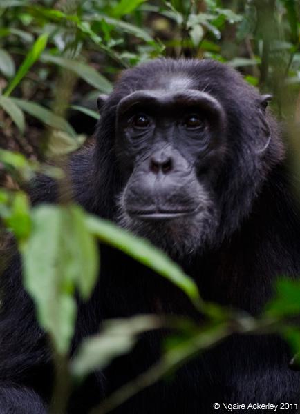 Chimpanzee pondering life - Kibale, Uganda