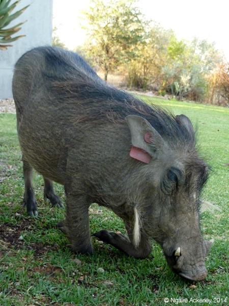 Warthog, aka lawnmower, Namibia