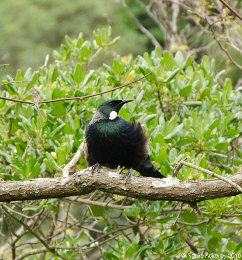 Native bird - Tui