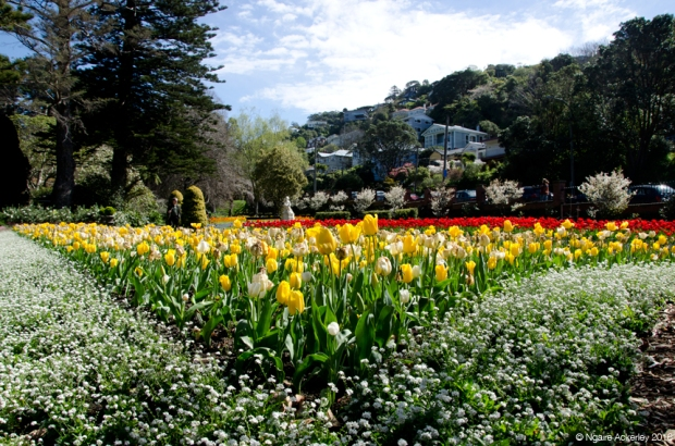 Tulips, Botanical Gardens, Wellington