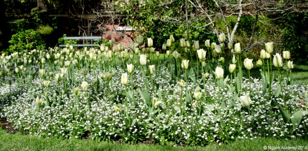 White Tulips, Botanical Gardens, Wellington