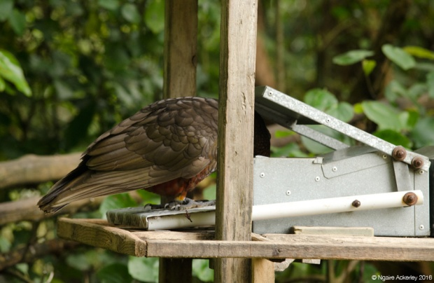 Kaka having a snack, Zealandia