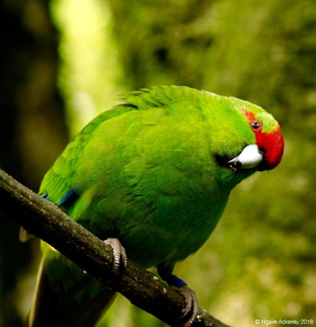 Kākāriki, Zealandia