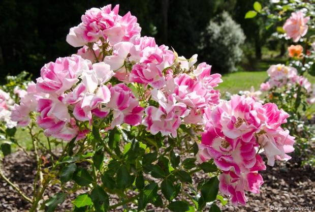 Rose Gardens, Rock Gardens at Auckland Botanic Gardens