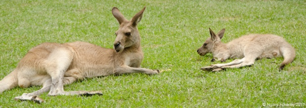 Kangaroos at the Koala Gardens