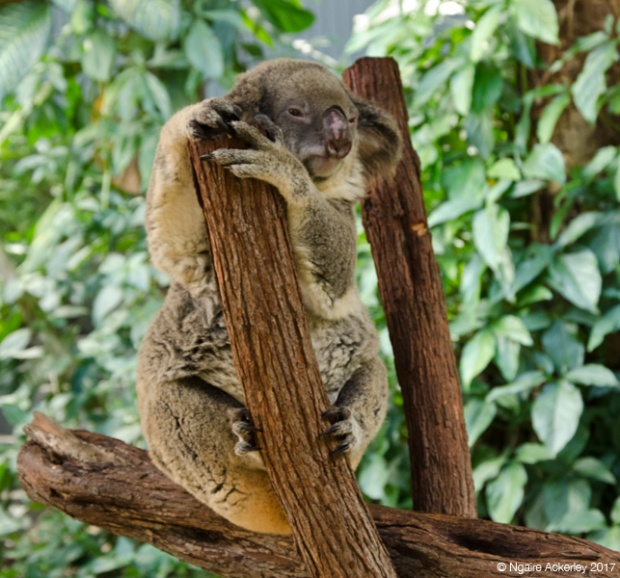 Koala at the Koala Gardens