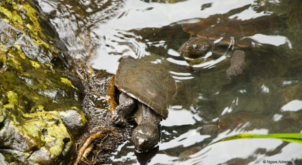 Turtles at Cassowary Falls