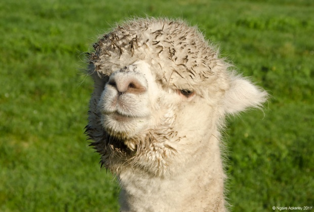 Alpaca - aww aren't I cute?