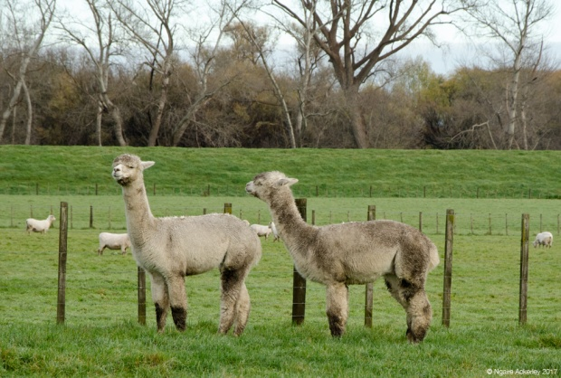 Alpaca and sheep
