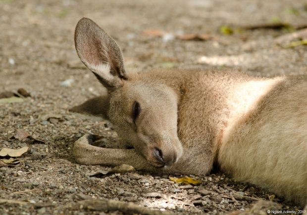 Kangaroo sleeping, Wildlife Habitat