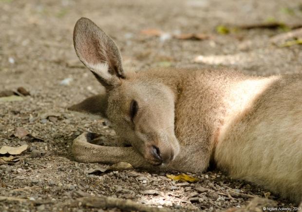 Kangaroo sleeping, Wildlife Habitat