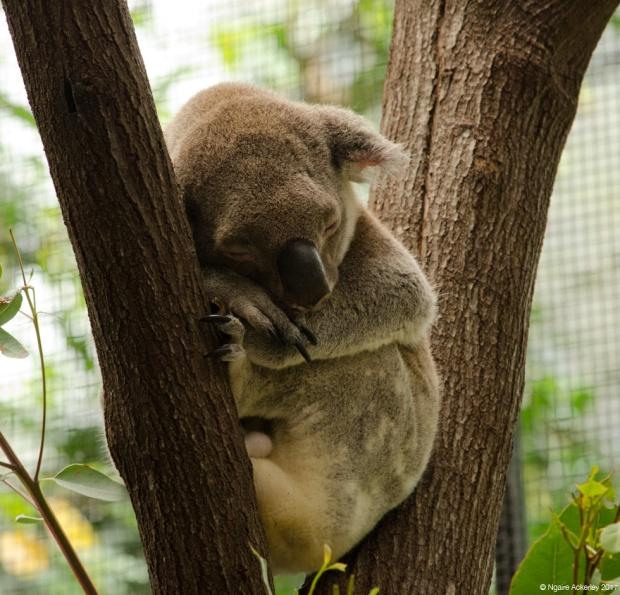 Koala, Wildlife Habitat