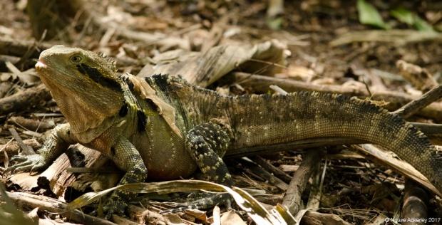 Eastern Water Dragon, Wildlife Habitat