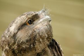 Owl, Wildlife Habitat, Port Douglas