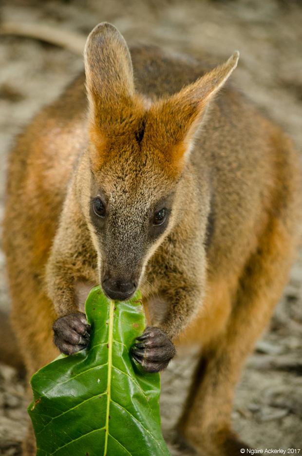 Wallaby eating, Wildlife Habitat