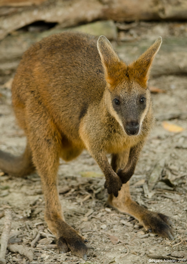 Wallaby, Wildlife Habitat