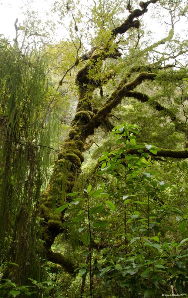 Oparara Basin trees