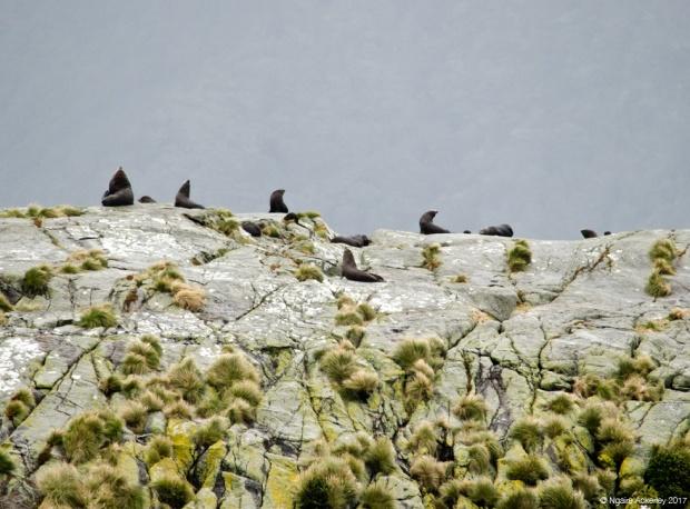 Seals near the Tasman Sea, Doubtful Sound