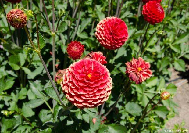 Flowers at Wanaka Lavender Farm