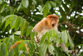 Angry female proboscis monkey (they pee when the boat gets too close)
