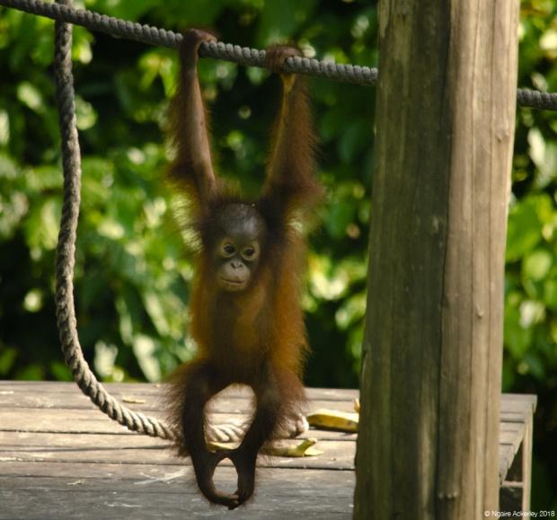 Orangutan baby, Sepilok Rehabilitation Centre, Borneo