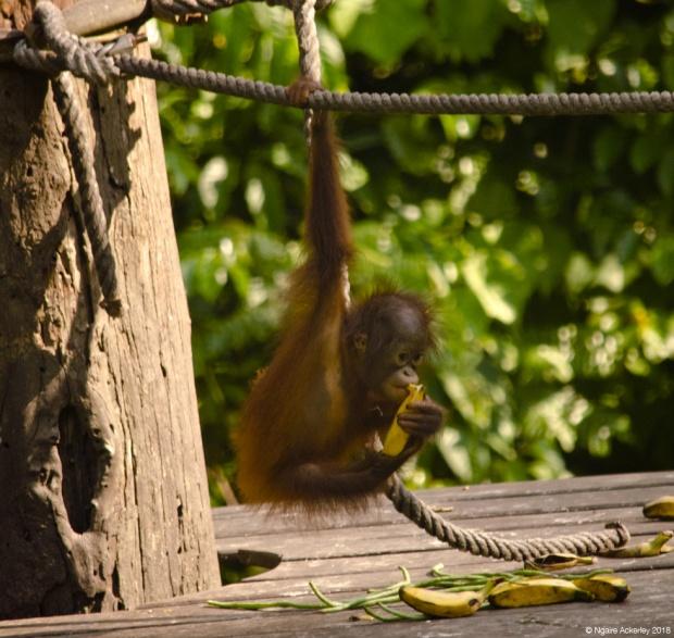 Orangutan baby eating, Sepilok Rehabilitation Centre, Borneo