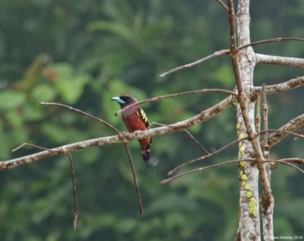 Banded broadbill, Kinabatangan River, Borneo