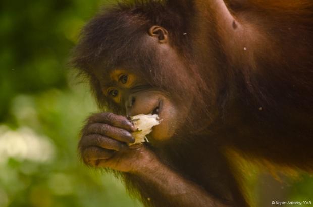 Young orangutan eating, Sepilok Rehabilitation Centre, Borneo