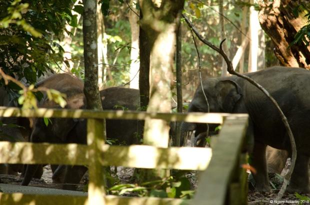 Elephants, Sepilok, Borneo