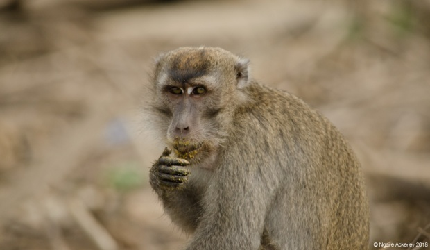 Macaque monkey caught eating, Kinabatangan River, Borneo