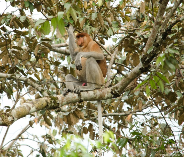 Male proboscis monkey in tree, Kinabatangan River, Borneo