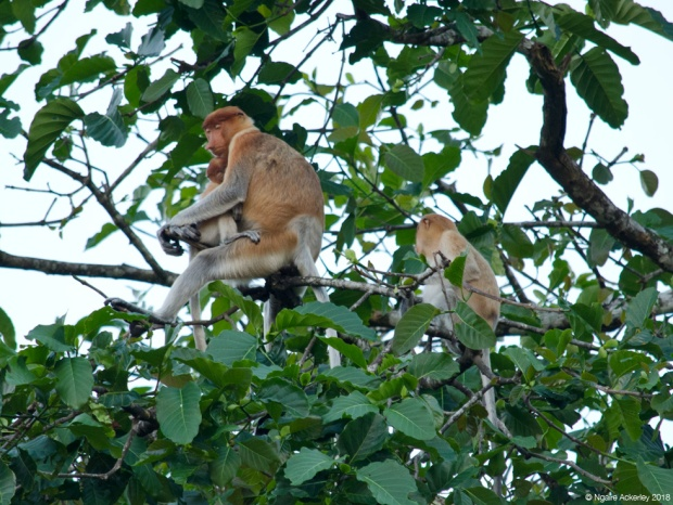 Sleeping mother and baby proboscis monkey in tree, Kinabatangan River, Borneo
