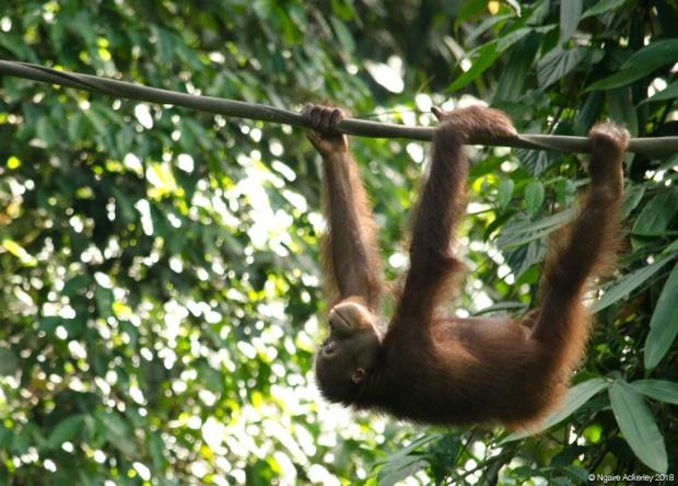 Orangutan climbing, Sepilok Rehabilitation Centre, Borneo
