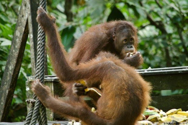 Orangutan eating, Sepilok Rehabilitation Centre, Borneo