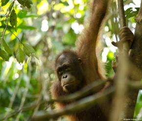 Orangutan hanging about, Sepilok Rehabilitation Centre, Borneo