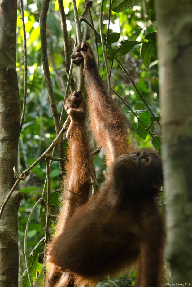 Orangutan playing about, Sepilok Rehabilitation Centre, Borneo