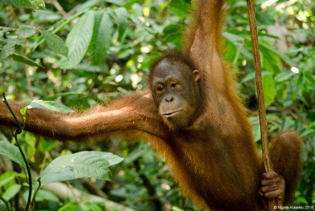 Orangutan, Sepilok Rehabilitation Centre, Borneo