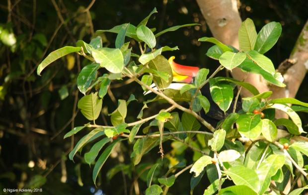 Rhinoceros Hornbill hiding, Kinabatangan River, Borneo