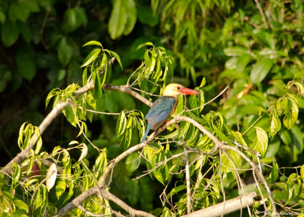 Stork billed kingfisher, Kinabatangan River, Borneo