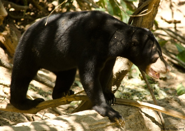 Sun Bear Conservation Centre, Borneo