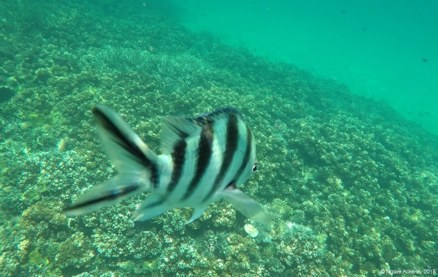Camera-loving fish, Pulau Tiga, Borneo