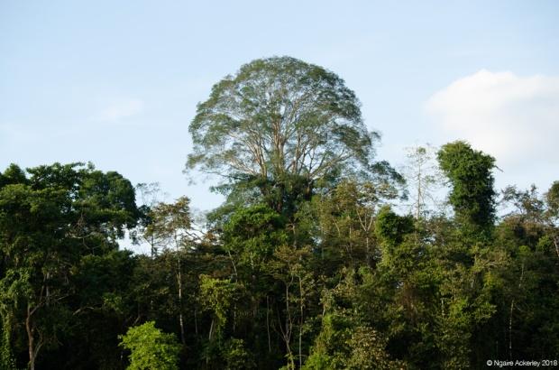Trees, Kinabatangan River, Borneo