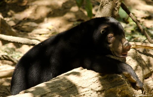 Young Sun Bear, Sun Bear Conservation Centre
